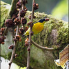 ORANGE-BELLIED FLOWERPECKER <i>Dicaeum trigonostigma</i> Mt. Makiling, Laguna, Philippines
