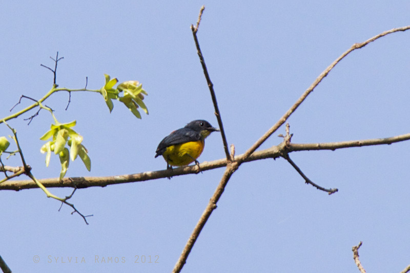 ORANGE-BELLIED FLOWERPECKER <i>Dicaeum trigonostigma cinereigularis</i> Pasonanca, Zamboanga