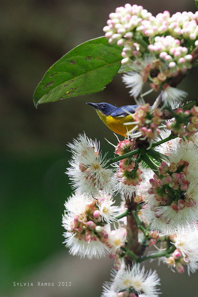 ORANGE-BELLIED FLOWERPECKER <i>Dicaeum trigonostigma</i> Makiling, Los Baños