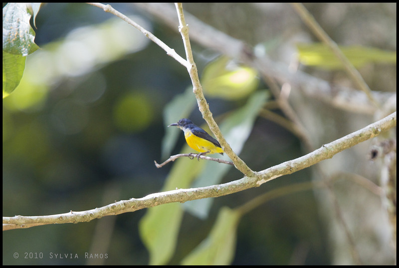 ORANGE-BELLIED FLOWERPECKER <i>Dicaeum trigonostigma</i> Philippine Eagle Center, Davao