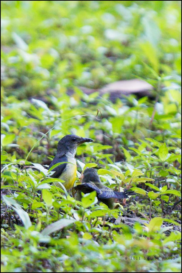 ORANGE-BELLIED FLOWERPECKER, female with immature <i>Dicaeum trigonostigma</i> Rajah Sikatuna Park, Bilar, Bohol