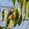 ORANGE-BELLIED FLOWERPECKER Dicaeum trigonostigma