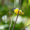 ORANGE-BELLIED FLOWERPECKER <i>Dicaeum trigonostigma cinereigularis</i> PICOP, Bislig, Surigao del Sur
