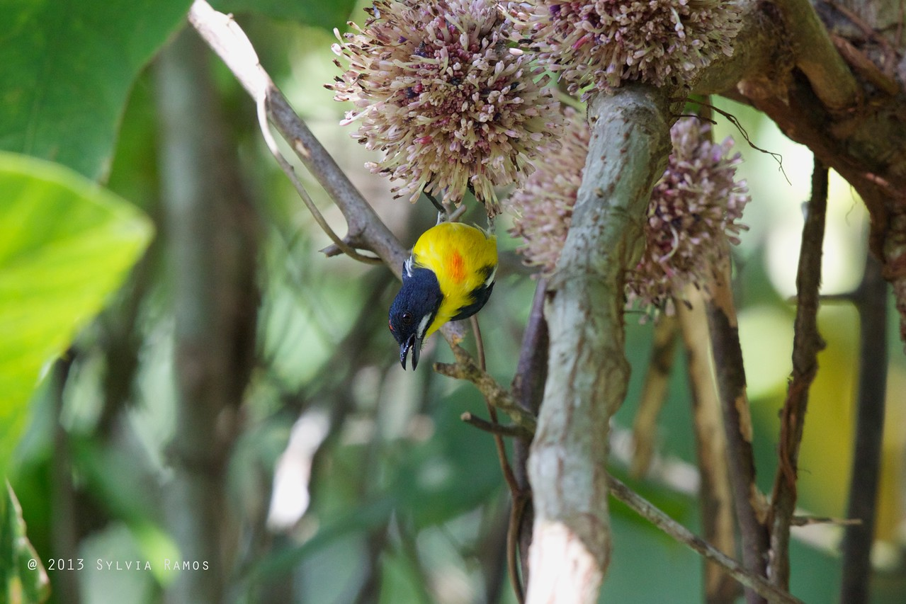 PALAWAN FLOWEPECKER, male <i>Prionochilus plateni</i> Puerto Princesa, Palawan