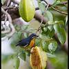 PALAWAN FLOWEPECKER, male <i>Prionochilus plateni</i> Coron, Palawan, Philippines