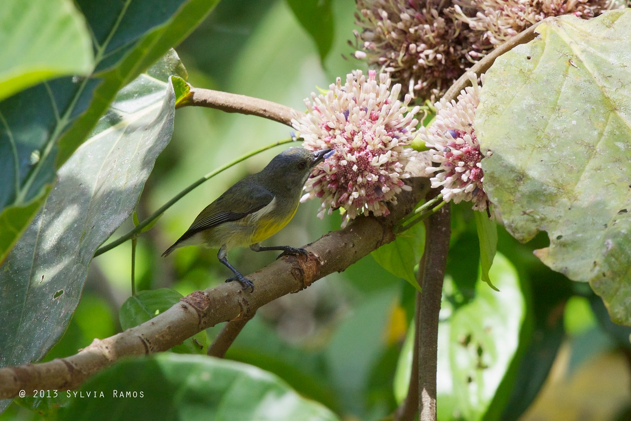 PALAWAN FLOWEPECKER, female <i>Prionochilus plateni</i> Puerto Princesa, Palawan
