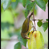 PALAWAN FLOWEPECKER, female <i>Prionochilus plateni</i> Coron, Palawan, Philippines