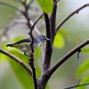 PYGMY FLOWERPECKER  <i>Dicaeum pygmaeum</i> Mt. Polis, Banaue, Philippines