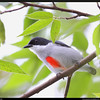 RED KEELED FLOWERPECKER <i>Dicaeum australe</i> Lipa, Batangas, Philippines