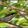 RED KEELED FLOWERPECKER <i>Dicaeum australe</i> Simply Butterflies Resort, Bilar, Bohol