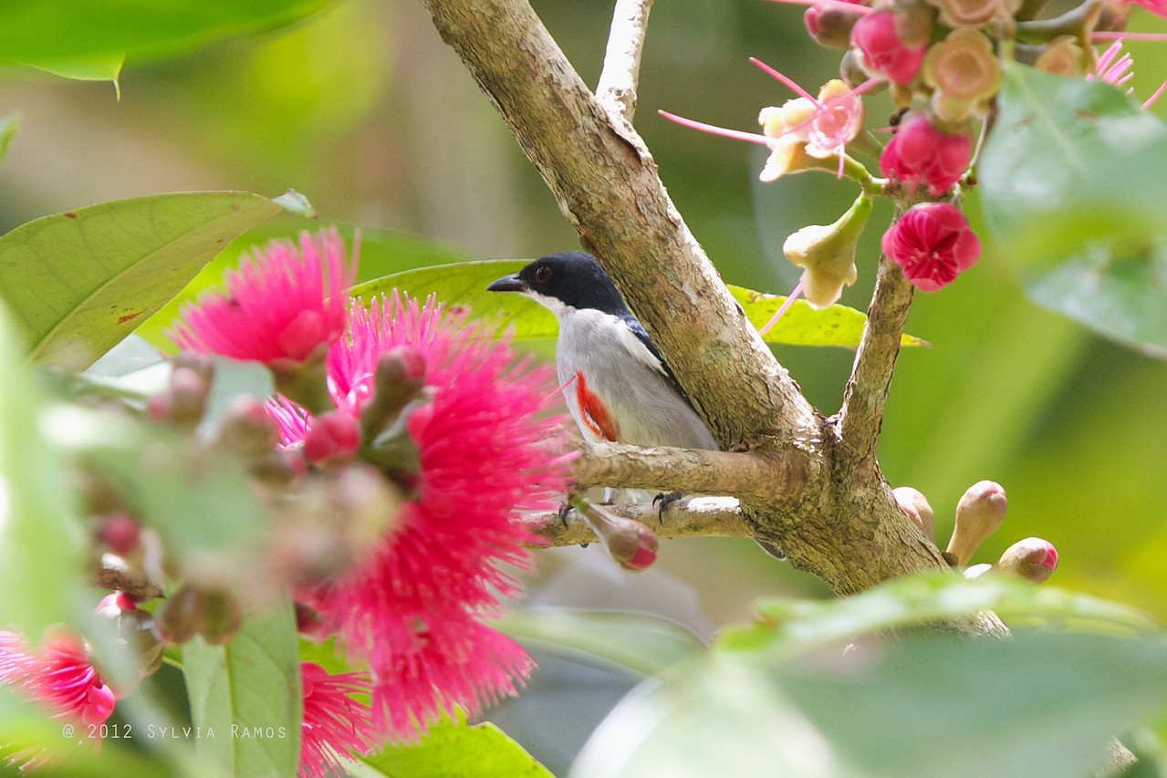 RED KEELED FLOWERPECKER <i>Dicaeum australe</i> Mapawa Nature Reserve, Malasag, Cagayan de Oro  What is that spot in the middle of the chest?