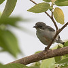 RED KEELED FLOWERPECKER, immature