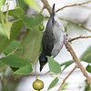 RED KEELED FLOWERPECKER