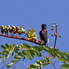 SCARLET-COLLARED FLOWERPECKER