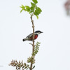 BLACK-BELTED FLOWERPECKER <i>Dicaeum haematostictum</i> Tabucol, Murcia, Negros Occidental