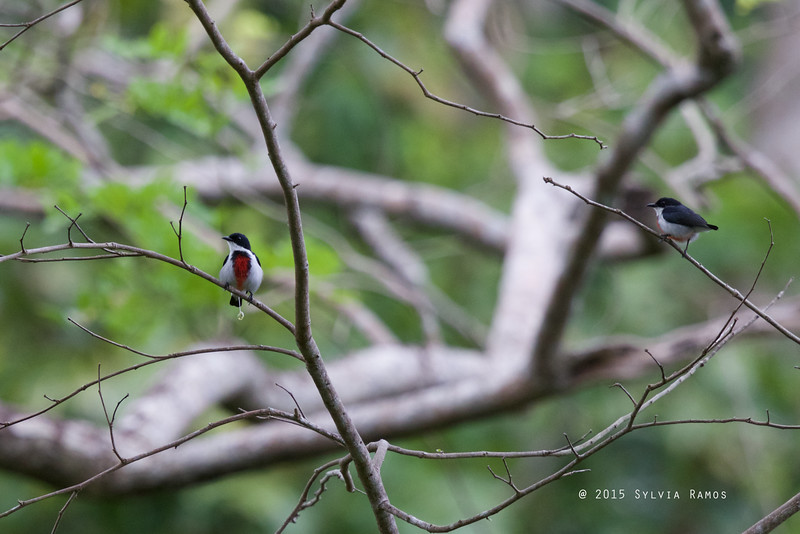 BLACK-BELTED FLOWERPECKER