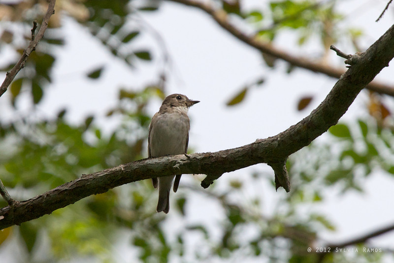 ASIAN BROWN FLYCATCHER <i>Muscicapa dauurica</i> Pasonanca, Zamboanga, Philippines