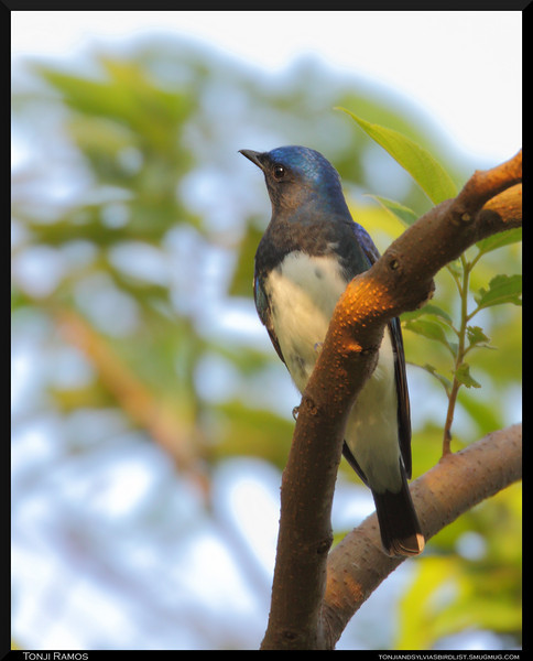 BLUE AND WHITE FLYCATCHER <i>Cyanoptila cyanomelana</i> Mt. Palay Palay, Cavite, Philippines