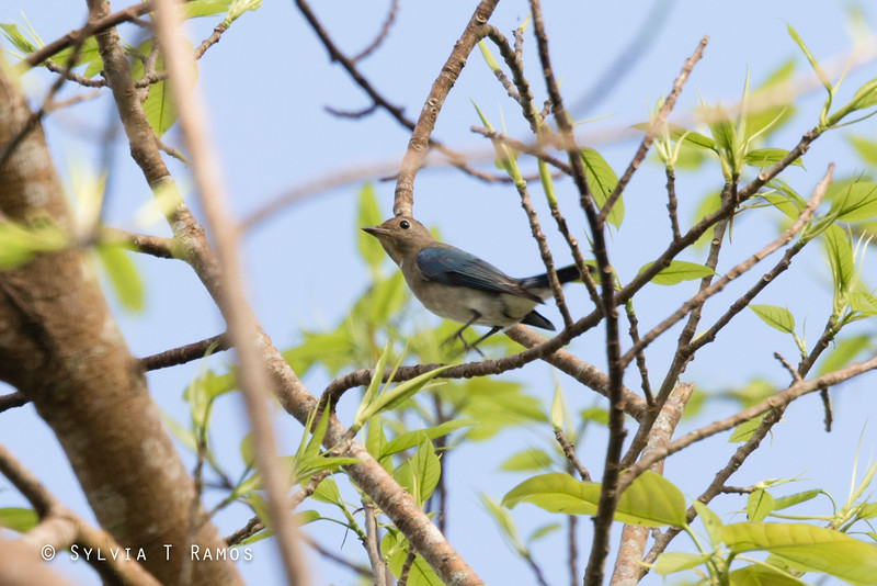 BLUE AND WHITE FLYCATCHER