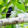 BLACK SHAMA aka Cebu Black Shama <i>Cospychus cebuensis</i> Nug-as, Alcoy, Cebu