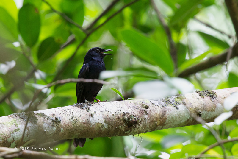 BLACK SHAMA aka Cebu Black Shama <i>Cospychus cebuensis</i> Nug-as, Alcoy, Cebu  note the leg bands