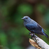 BLUE ROCK THRUSH <i>Monticola solitarius</i> Batan, Batanes, Philippines