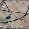 BLUE ROCK THRUSH <i>Monticola solitarius</i> Mt. Polis, Mt. Province, Philippines