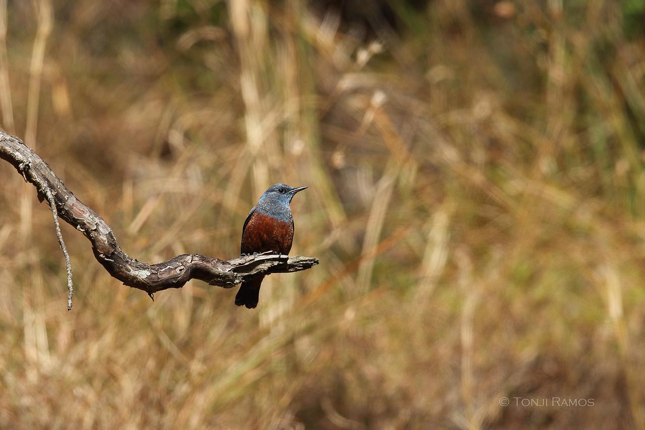 BLUE ROCK THRUSH <i>Monticola solitarius</i> Cervantes, Ilocos Sur, Philippines