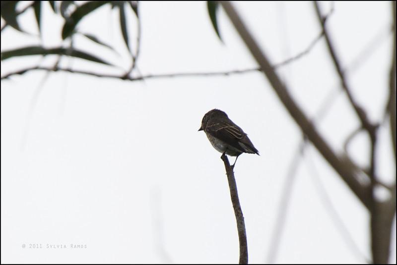 DARK-SIDED FLYCATCHER <i>Muscicapa sibirica</i> Mt. Palay Palay, Cavite, Philippines