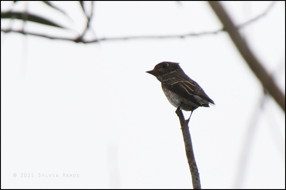 DARK-SIDED FLYCATCHER <i>Muscicapa sibirica</i> Mt. Palay Palay, Cavite, Philippines