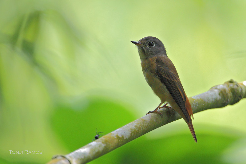 FERRUGINOUS FLYCATCHER <i>Muscicapa ferruginea</i> Laguna, Philippines