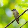FERRUGINOUS FLYCATCHER, immature <i>Muscicapa ferruginea</i> Laguna, Philippines
