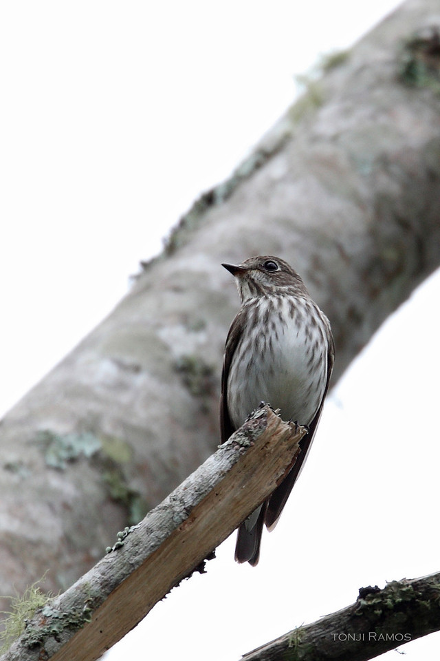 GREY STREAKED FLYCATCHER <i>Muscicapa griseisticta</i> Mt. Kitanglad, Bukidnon, Philippines