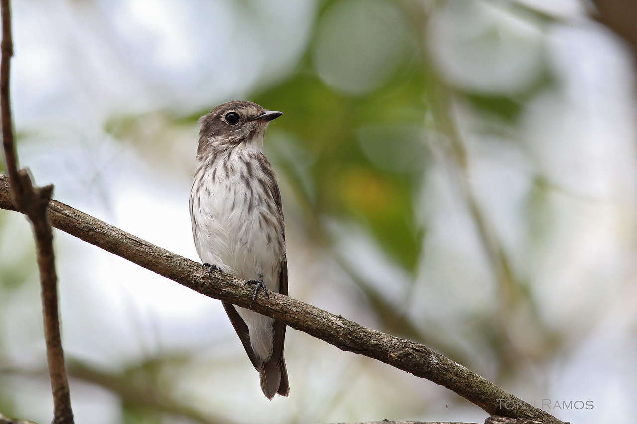 GREY STREAKED FLYCATCHER <i>Muscicapa griseisticta</i> Alabang, Philippines
