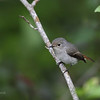 LITTLE PIED FLYCATCHER, female <i>Ficedula westermanni</i> Banaue Hotel, Mountain Province, Philppines