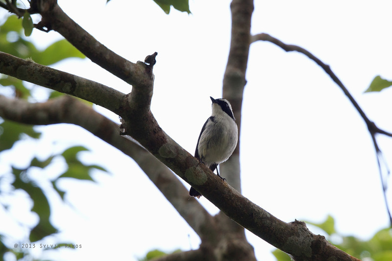 LITTLE PIED FLYCATCHER, male <i>Ficedula westermanni</i> Bessang Pass, Ilocos Sur