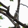 LITTLE PIED FLYCATCHER, male <i>Ficedula westermanni</i> Bessang Pass, Ilocos Sur
