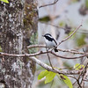 LITTLE PIED FLYCATCHER, male <i>Ficedula westermanni</i> Banaue Hotel, Mountain Province, Philppines