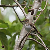 LITTLE PIED FLYCATCHER, immature <i>Ficedula westermanni</i> Banaue Hotel, Mountain Province, Philppines