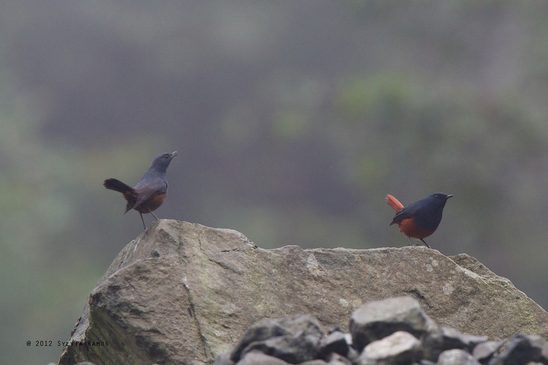 LUZON WATER-REDSTART, male and female <i>Rhyacornis bicolor</i> Mt. Polis, Banaue, Philippines