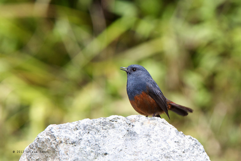 LUZON WATER-REDSTART <i>Rhyacornis bicolor</i> Mt. Polis, Banaue, Philippines