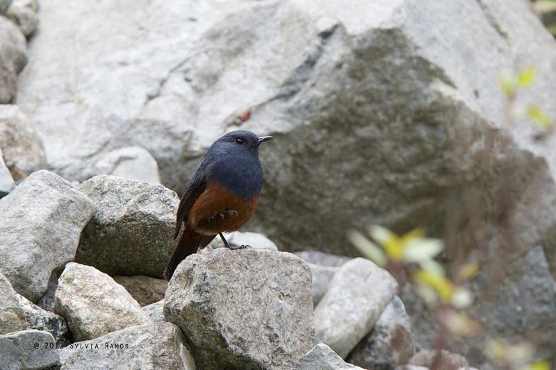 LUZON WATER-REDSTART <i>Rhyacornis bicolor</i> Mt. Polis, Banaue, Philippines