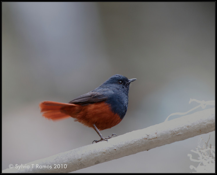 LUZON WATER-REDSTART, male <i>Rhyacornis bicolor</i> Mt. Polis, Banaue, Philippines