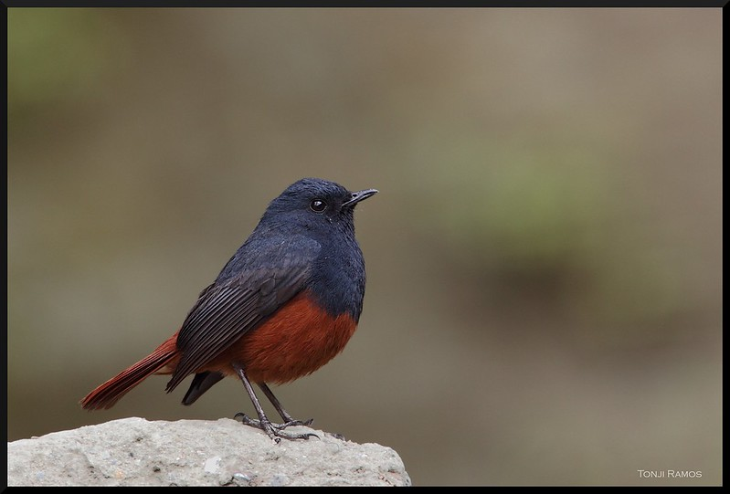 LUZON WATER-REDSTART, male <i>Rhyacornis bicolor</i> Mt. Polis, Banaue, Philippines