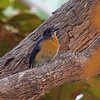 """MANGROVE BLUE FLYCATCHER <i>Cyornis rufigastra</i> Coron, Palawan, Philippines  This bird is not listed in the Kennedy guide for this area. This was a """"noteworthy record"""" for the area."""