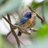 MANGROVE BLUE FLYCATCHER, adult and immature <i>Cyornis rufigastra</i> La Mesa Ecopark, Quezon City