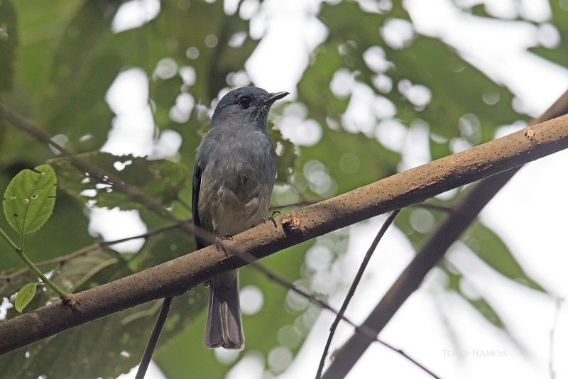 TURQUOISE FLYCATCHER <i>Eumyias panayensis</i> Kanlaon, Negros