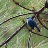TURQUOISE FLYCATCHER <i>Eumyias panayensis</i> Mt. Polis, Mt. Province, Philippines