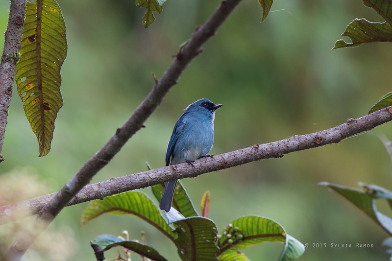TURQUOISE FLYCATCHER <i>Eumyias panayensis</i> Mt. Polis, Mt. Province, Philippines