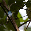 TURQUOISE FLYCATCHER <i>Eumyias panayensis</i> Mt. Kitanglad, Bukidnon, Philippines